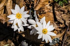Group Bloodroot Wildflower – Sanguninaria Canadensis. Bloodroot is a wildflower in the Poppy family Papaaveraceae. The flower has crisp white daisy like royalty free stock photo