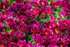 Group of blooming crimson tulips from above in closeup Stock Photos
