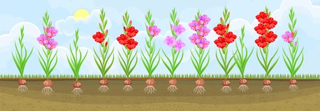 Group of blooming gladiolus plant with flowers of different colors on flowerbed vector illustration