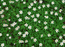 Group of blooming wood anemones stock photography