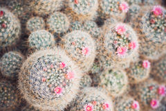 Group of blossom cactuses in garden. Top view Royalty Free Stock Photography