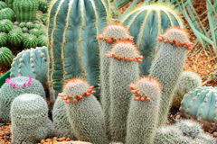 Group of bludgeon cactus Royalty Free Stock Image