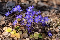 Group of blue anemone flowers in spring sunlight. Cluster of beautiful blue anemone or liver leaf flowers blooming in spring sunlight royalty free stock images