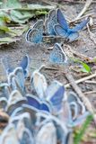 Group of blue butterflies on sand trail Royalty Free Stock Photography