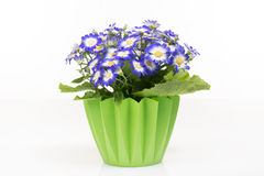 Group of blue cineraria in a green flower pot. Royalty Free Stock Image