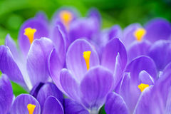 Group of blue crocuses Royalty Free Stock Images