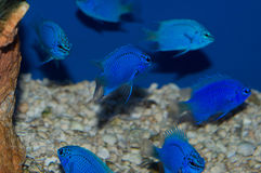 Group of Blue Damselfish Royalty Free Stock Images