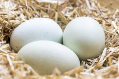 Organic blue eggs. Group of  blue eggs in a nest of hay that are laid by theses breeds Legbar, Ameraucana,  Araucana and Easter chickens, back focus  blurred Stock Images