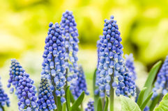 Group of blue grape hyacinth flowers Stock Photos