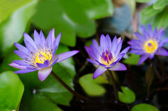 Group of blue lotus. In home garden Royalty Free Stock Image