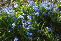Group of blue scilla siberica flowers in the woods. In a sunny spot Royalty Free Stock Photos