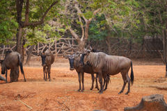 Group of Blue Wildebeest Royalty Free Stock Image