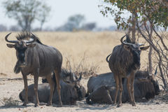 Group of blue wildebeest. Royalty Free Stock Photography