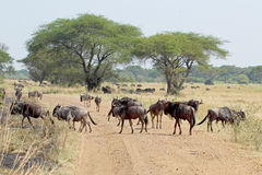 Group of blue wildebeests crossing a road Stock Photography