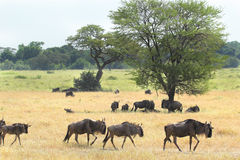Group of blue wildebeests in the savannah Royalty Free Stock Image