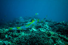 Group of blue and yellow fusilier swimming in Derawan, Kalimantan, Indonesia underwater photo Royalty Free Stock Photos
