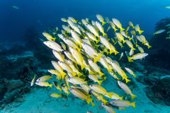 Group of Bluestripe snapper. Diving with group of Bluestripe snapper Royalty Free Stock Image