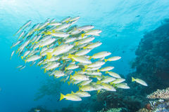 Group of Bluestripe snapper. Diving with group of Bluestripe snapper Stock Photo