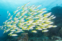 Group of Bluestripe snapper. Diving with group of Bluestripe snapper Royalty Free Stock Photography