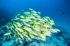 Group of Bluestripe snapper. Scuba diving with group of Bluestripe snapper Royalty Free Stock Images