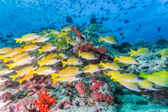Group of Bluestripe snapper. Scuba diving with group of Bluestripe snapper Stock Photography