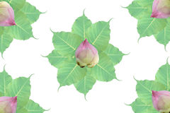 Group of bo leaf and lotus  on white background Stock Photography