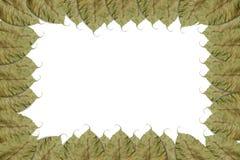 Group of bo leaf  on white background Royalty Free Stock Image