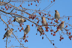 Group of Bohemian Waxwings. Several Bohemian Waxwings perched on a berry laden branch of a flowering crabapple tree in Littlefork, MN during winter royalty free stock photos