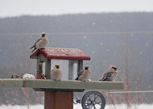 Group of bohemian waxwings on feeder in winter Stock Photos