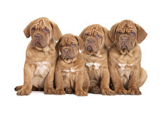 Group Bordeaux puppy dog Stock Photography