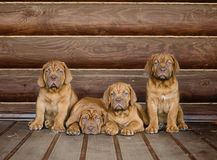 Group Bordeaux puppy dog sitting in front view near wood wall Royalty Free Stock Photography