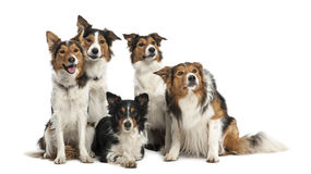 Group of Border Collies Stock Photo