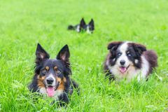 Group of border collies lying in green grass Royalty Free Stock Photo