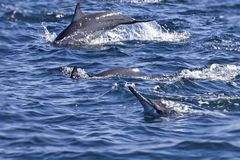 Group of bottlenose dolphins - Oman Stock Images