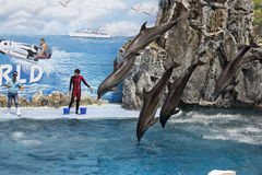 A group of bottlenose dolphins perform a jumping Stock Image