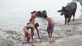 Group of boys playing at dirty shore of Ganges, with cows standing aside. stock footage