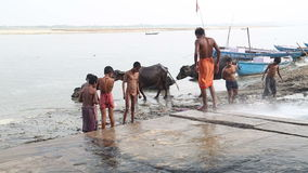 Group of boys playing with water from hose by Ganges river, with cows aside. stock footage