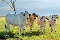 Group of brahmans Royalty Free Stock Images
