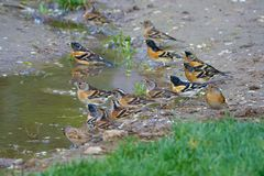 Drinking Brambling. A group of Brambling are drinking in puddle. Scientific name: Fringilla montifringilla stock photography