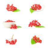 Group of branch ripe viburnum isolated on a white background with clipping path. Set of arrowwood berries isolated on a white background with clipping path Royalty Free Stock Photography