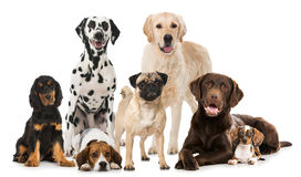 Group of breed dogs. Isolated on white Stock Photo
