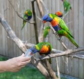 Group of bright colorful parrots Coconut Lorikeet drinking nectar from the hands stock images