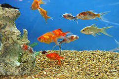 Group of Bright Gold Fish Royalty Free Stock Image