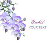 Group of bright lilac orchids Royalty Free Stock Image