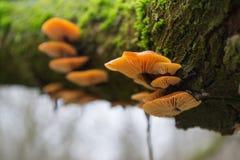 A group of bright, orange mushrooms on a tree with green moss. A group of bright, orange mushrooms on a tree with green moss Stock Photography