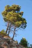 Group of bright pine trees Stock Photography