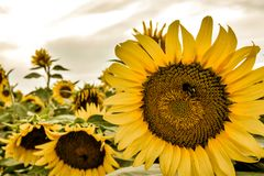 Cheery, bright sunflower faces royalty free stock image