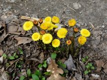 A group of bright yellow coltsfoot flowers emerging in spring. A group of bright yellow coltsfoot flowers Tussilago farfara emerging in spring. These plants were Stock Photos