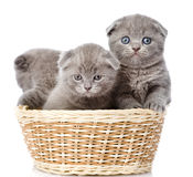 Group british shorthair kittens in basket. isolated on white Royalty Free Stock Photography