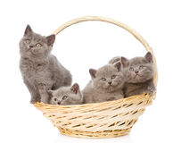 Group british shorthair kittens in basket. isolated Royalty Free Stock Photos